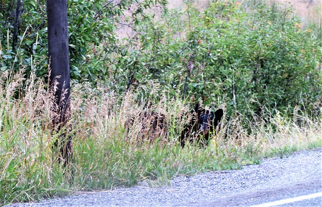 Ursus americanus --  American Black Bear 4049