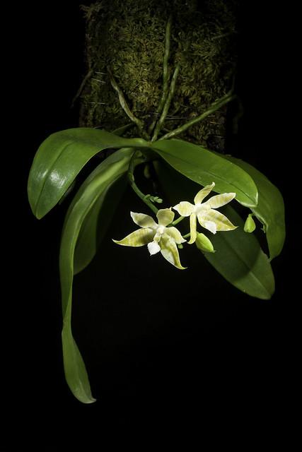 Phalaenopsis hieroglyphica fma. flava (Rchb.f.) H.R.Sweet, Amer. Orchid Soc. Bull. 38: 36 (1969)