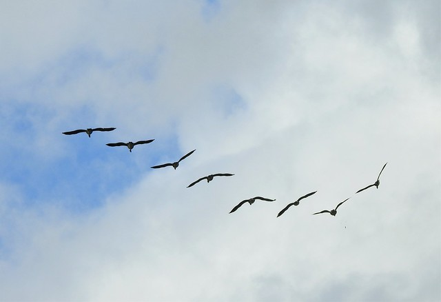 Canada Geese Over Neumann's Flashes - Cheshire