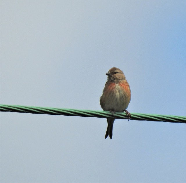 Common Linnet On Green Wire