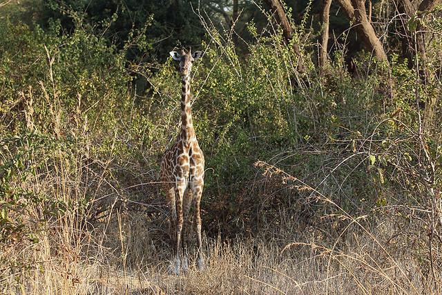 Masai giraffe, Ruaha National Park,  Tanzania