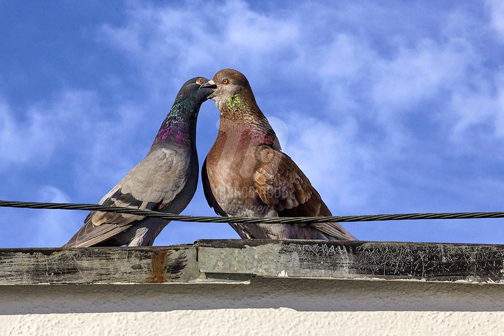 Casal de Pombo-Doméstico, onde o macho (direita) regurgita alimento à fêmea (esquerda). Esse casal está com três filhotes em idade jovem, onde os três já estão voando.