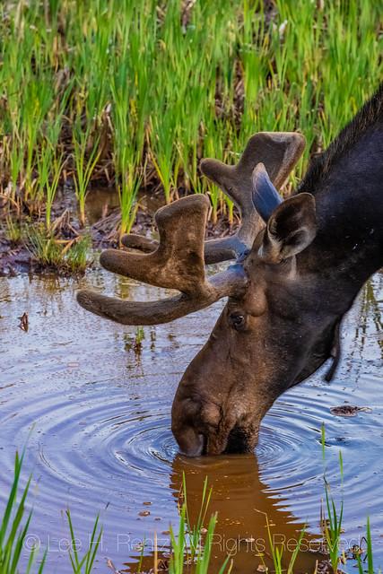 Bull Moose in Michigan's Upper Peninsula