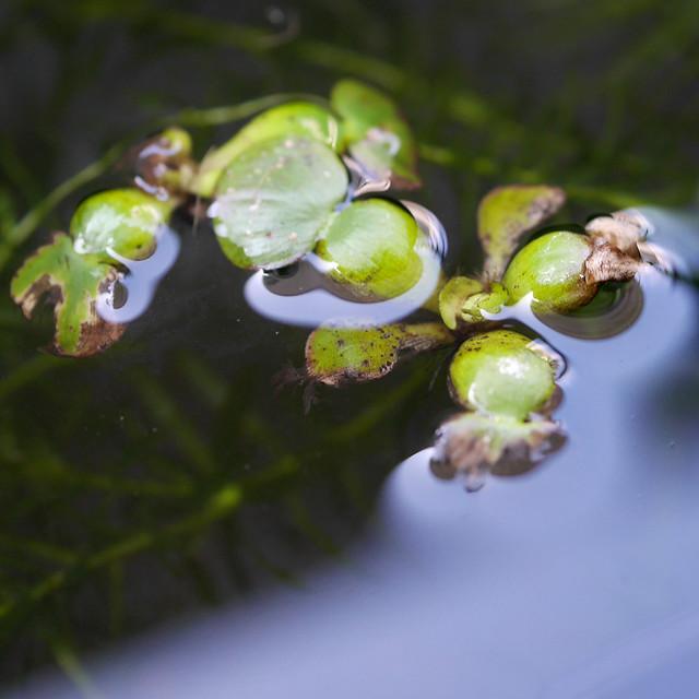 ホテイアオイ 布袋葵 ビオトープ 水生植物 浮草 Eichhornia crassipes
