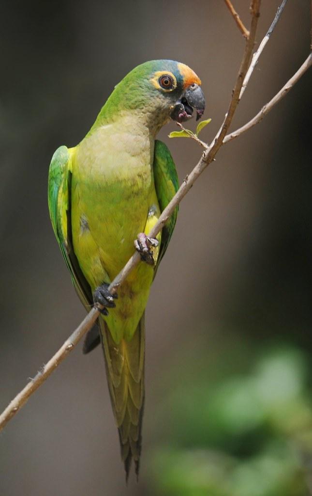 Periquito-rei / Peach-fronted Parakeet
