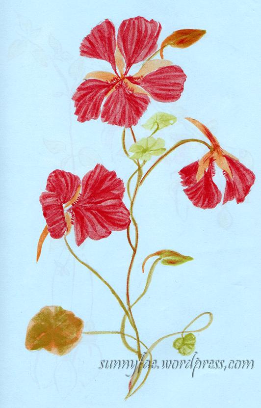 nasturtium sketch