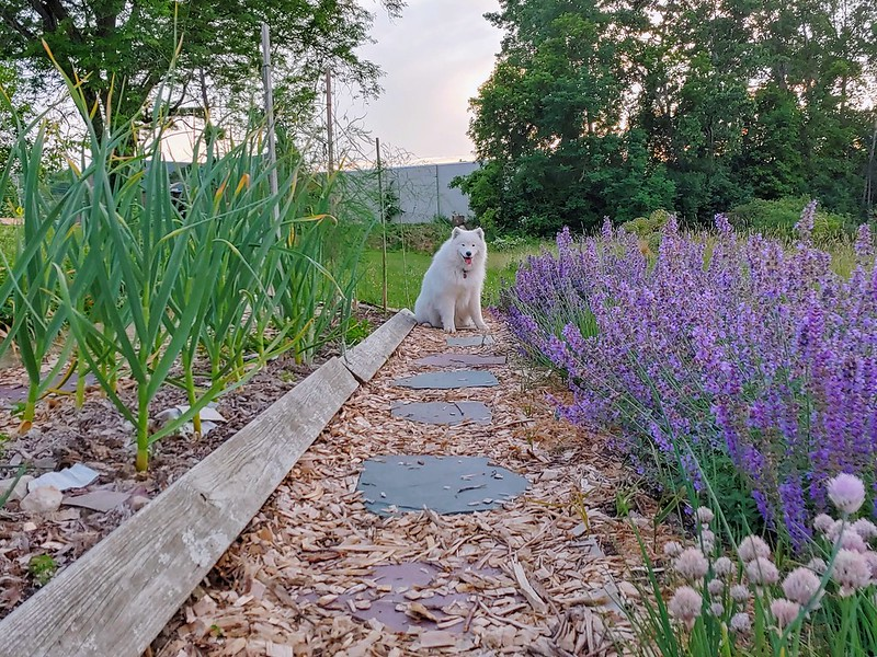 Garlic to the left, catmint + meadow sage + chives to the right