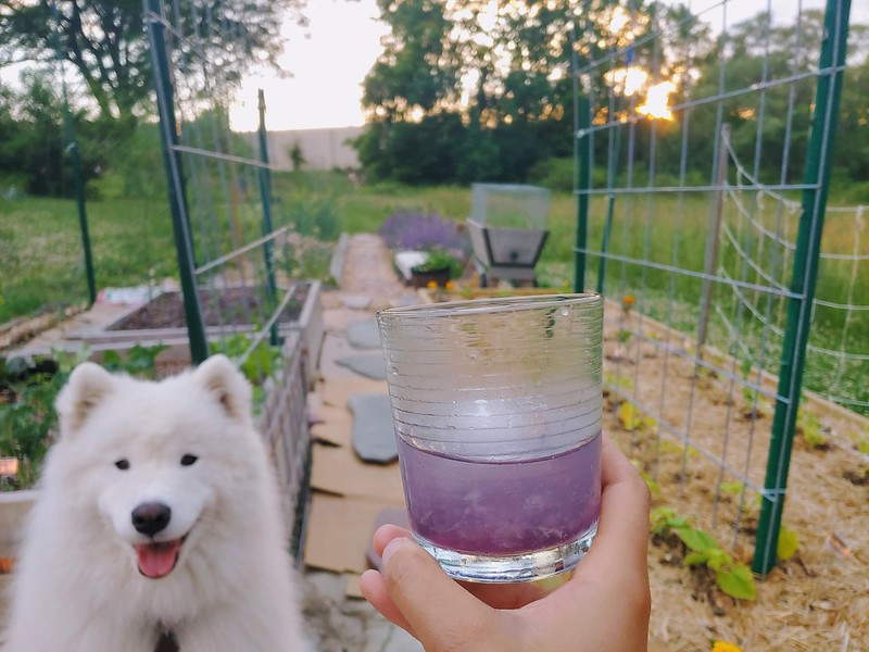 Aviation Cocktail in the Vegetable Garden with the Dog