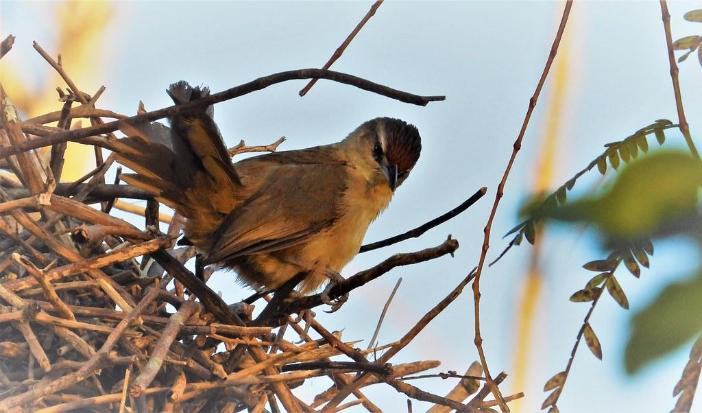 João-de-pau - Rufous-fronted Thornbird