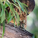 juvenile_swainsons_hawk_eating_cicada-20200728-100