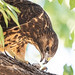 juvenile_swainsons_hawk_eating_cicada-20200728-103