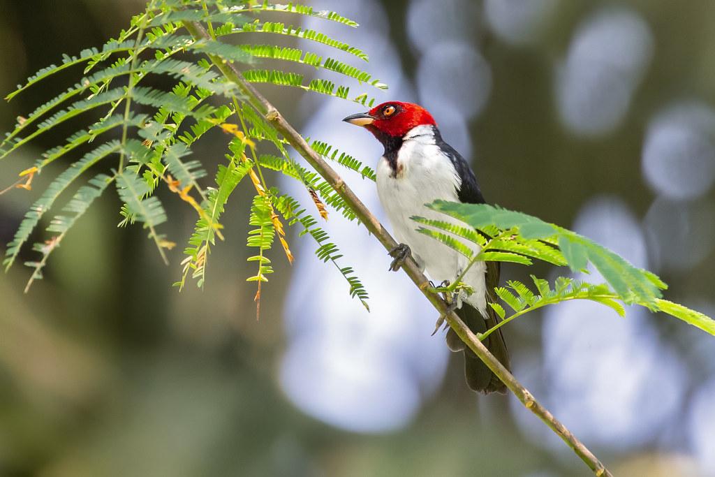 Red-capped cardinal (Paroaria gularis)