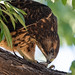 juvenile_swainsons_hawk_eating_cicada-20200728-101