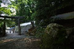 Miyajima deer, Japan, April 2016