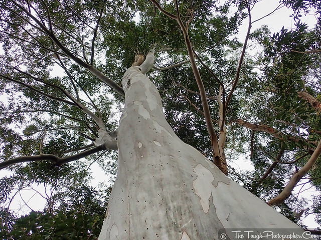 Look up - Big gum tree white trunk
