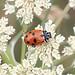 Adonis ladybird_4608