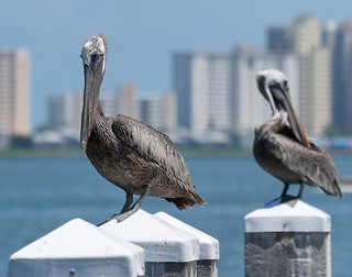 Another of the bird photos I took while *pretending* to take photos and getting ready for my cue to turn towards camera for that TV segment: brown pelicans before the Sand Key high-rises. I'm lucky that at this boat ramp, a few minutes walk from my house, | by luciwest