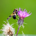 Fönsterblomfluga/Pellucid fly
