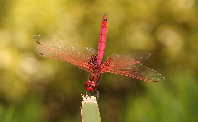 Male Crimson Marsh Glider (Trithemis aurora, Libellulidae)