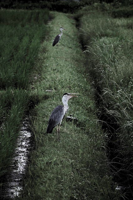 a ridgeway between rice fields