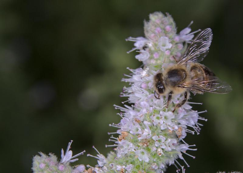 Bee on apple mint