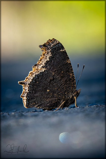 Mourning Cloak on the Road