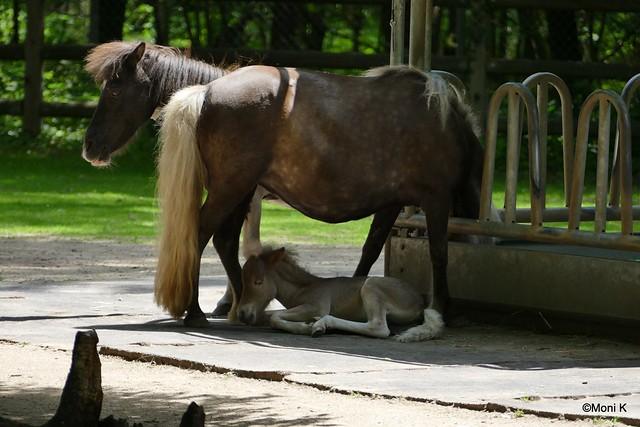 17-Pony Sternchen und Sohn Sirius