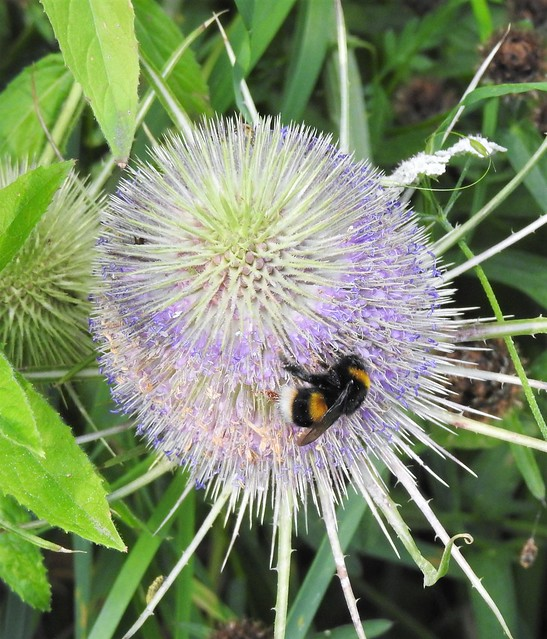 Buff-Tailed Bumble Bee On Teasel Head