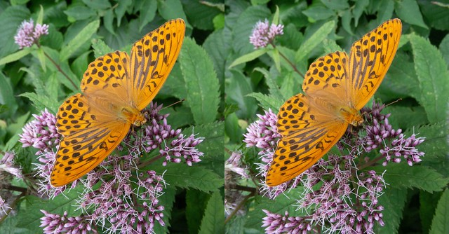 Argynnis paphia, stereo parallel view