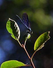 CABALLITO DEL DIABLO (Zigópteros)