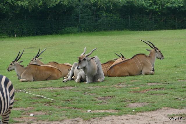 29-Elenantilope Ramses mit Harem