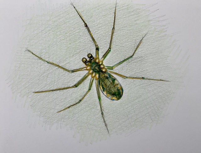 Tiny spider in the garden. Coloured Polychromos pencil drawing on card by jmsw.