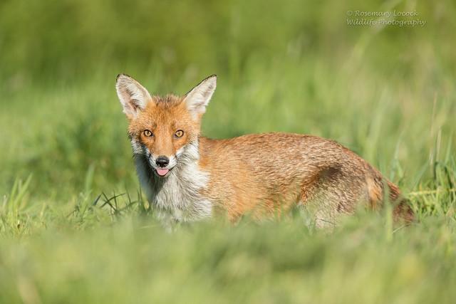Red Fox - Vulpes vulpes.