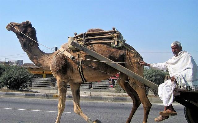 Camel Driver - Delhi to Jaipur Highway