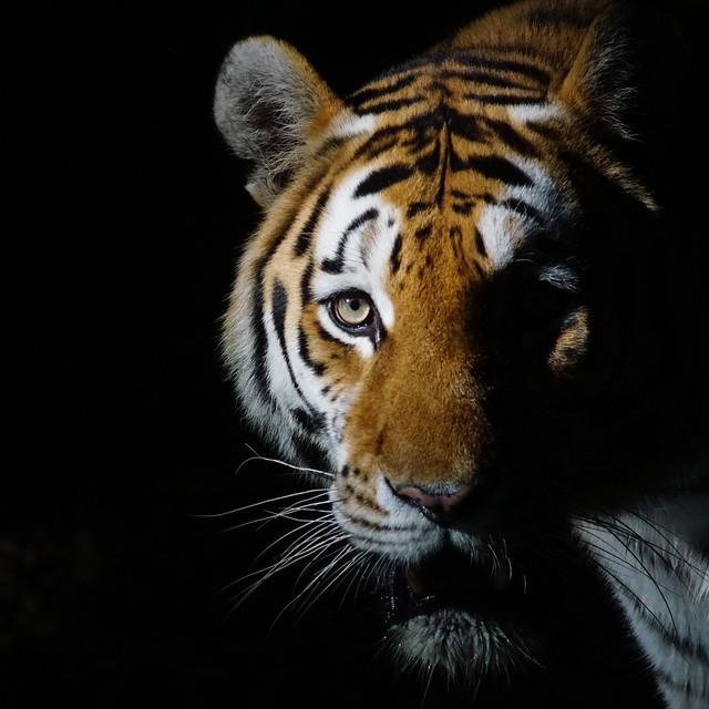 Tg Nbg     29.7.  Tag des Tigers       200729