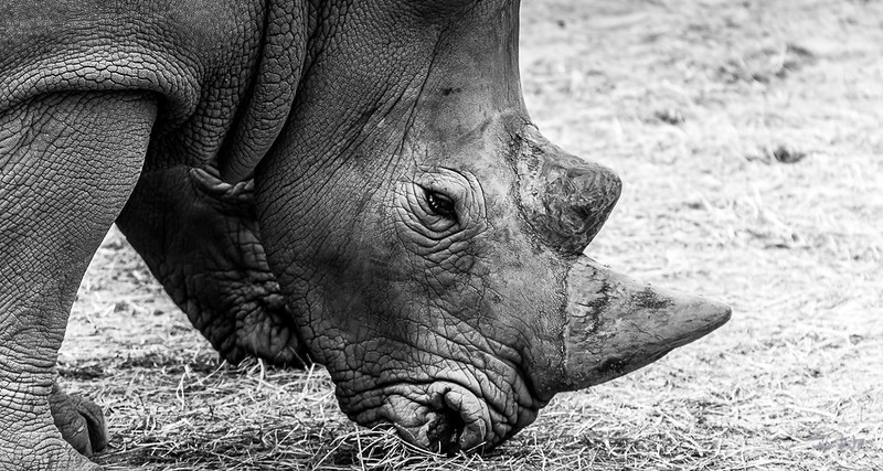 Fan7  - François Leroy | Rhinocèros