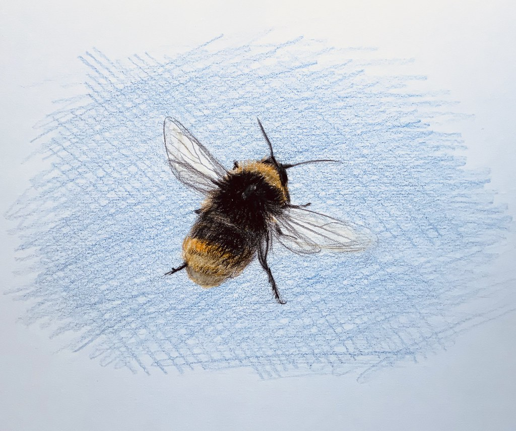 Bumble bee in the garden today. Coloured Polychromos pencil drawing by jmsw. Just for Fun.
