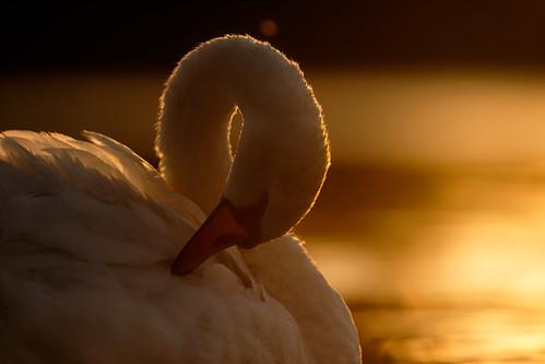 swan portrait sunset norfolk jonathan casey photography uk nuikon d850 400mm f28 vr