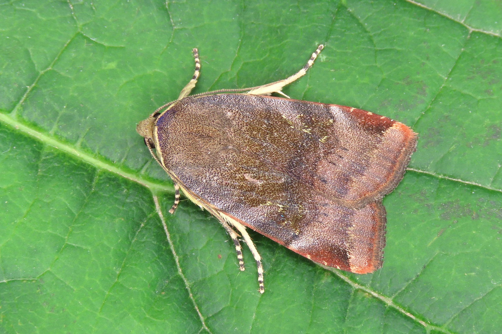 73.348 Lesser Broad-bordered Yellow Underwing - Noctua janthe