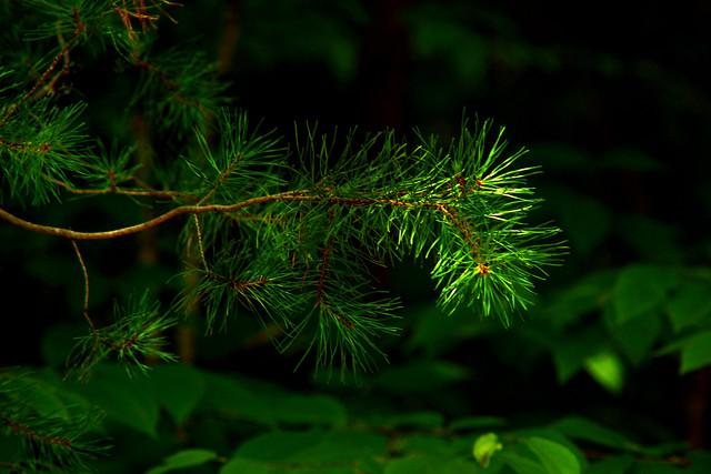 Sidelight   Pine Needles ( Explored 7/31/2020 )