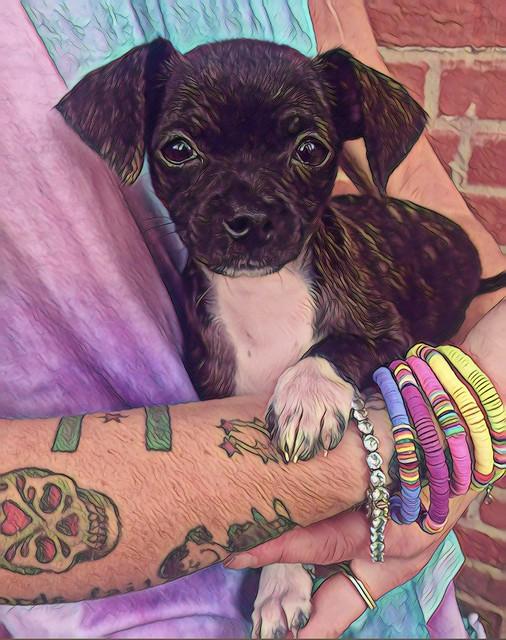 Introducing Charlie, my new Granddog.  10 weeks. 3.6lbs.