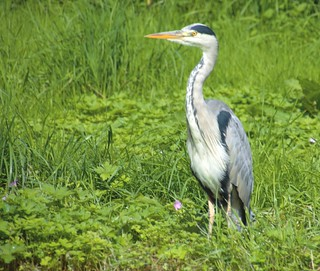 Heron on the lookout | by Tony Worrall