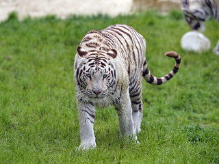 Shy tigress walking in the grass