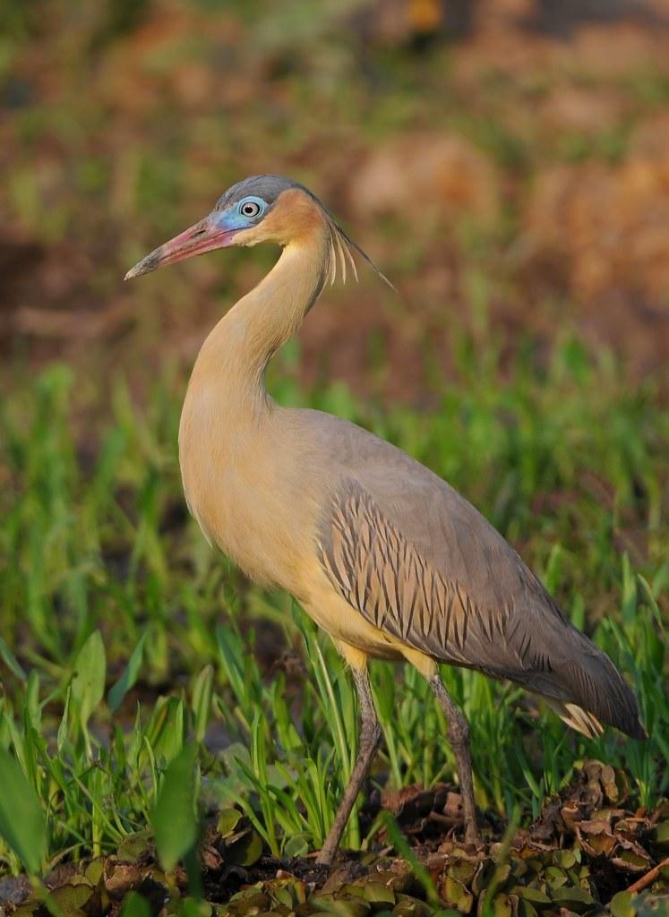 Maria-faceira / Whistling heron