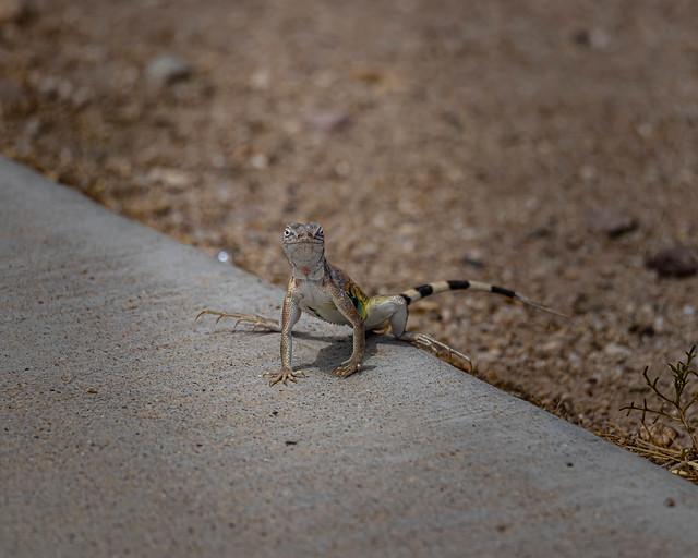 The Curious Lizard