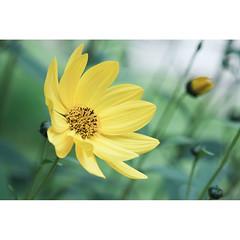 Yellow Daisy.