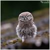 Acorn the Little Owl Owlet