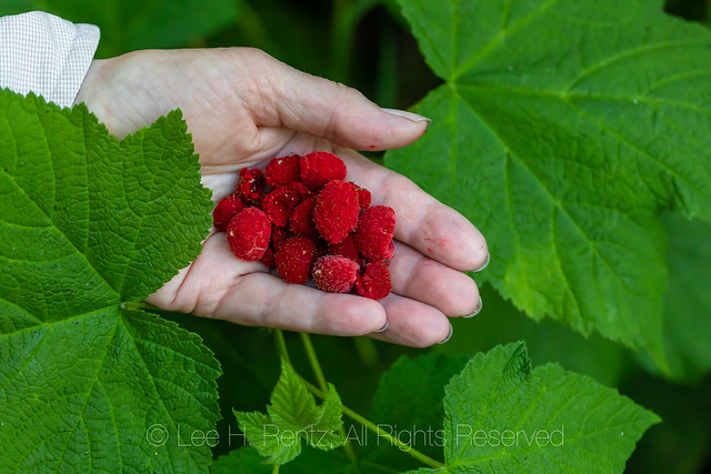 Thimbleberry in Gifford Pinchot National Forest