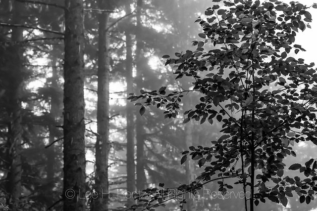 Conifer Forest in the Mist in Gifford Pinchot National Forest