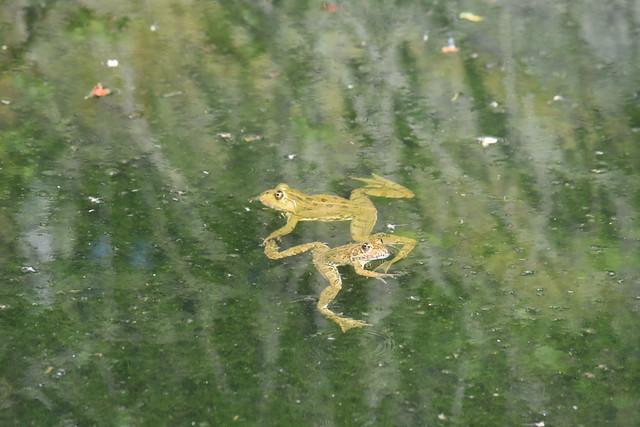 Marchando una tanda de ranas